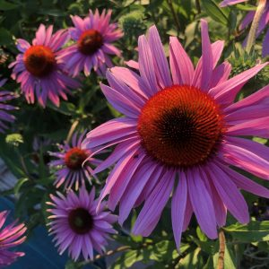 fleurs echinacées